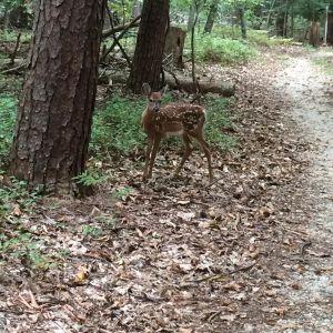 perimeter deer