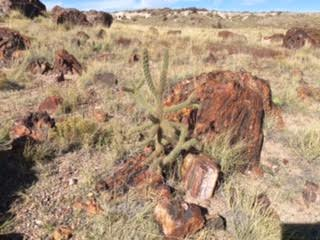 36 cactus and petrified wood
