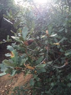 50 acorns